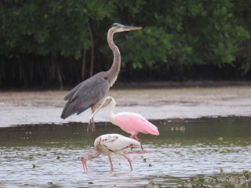 Some of the avifauna present in the Ria Lagartos Biosphere Reserve - Great blue heron, roseate spoonbill and American white ibis. Photo by Hameet Singh.