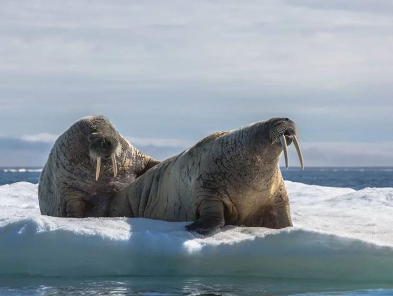 Pair of walruses on an ice floe in the Canadian Arctic